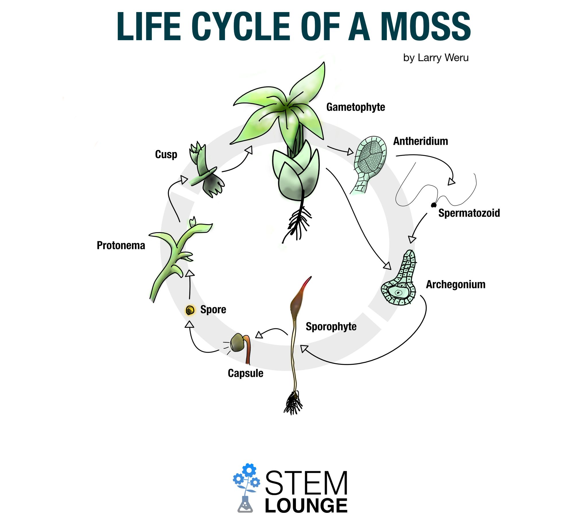Life Cycle of a Moss - Infographic